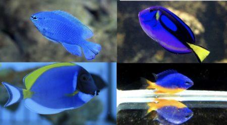 青い海水魚