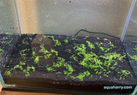 ニューラージパールグラスの簡単な植え方