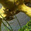 ミナミヌマエビの目が白い